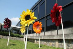 Giant Sunflowers Adorn the Campus