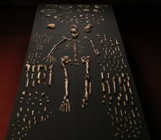 Professor Harcourt-Smith published a follow-up paper on the new human species Homo Naledi which suggests the species walked upright and also climbed.